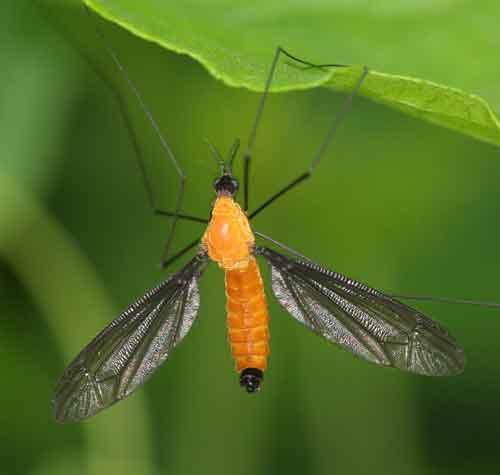Tipulidae (crane flies) 5