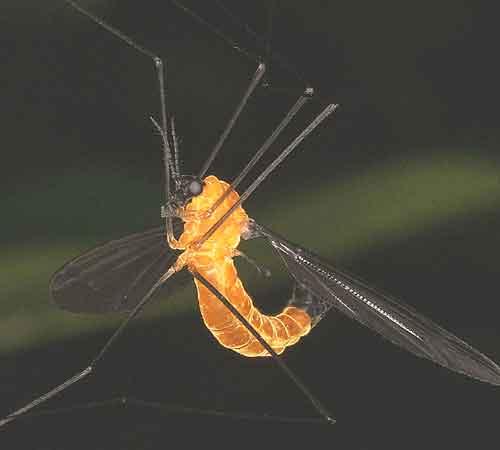 Tipulidae (crane flies) 6