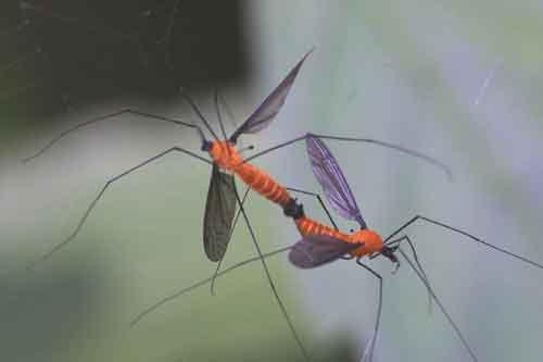 Tipulidae (crane flies) 7