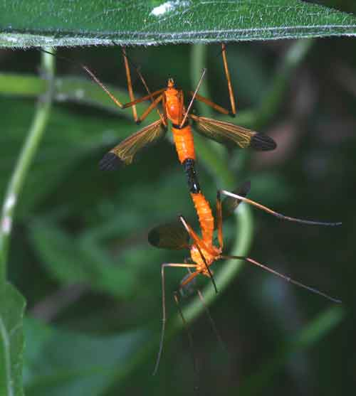 Tipulidae-(crane-flies) 9