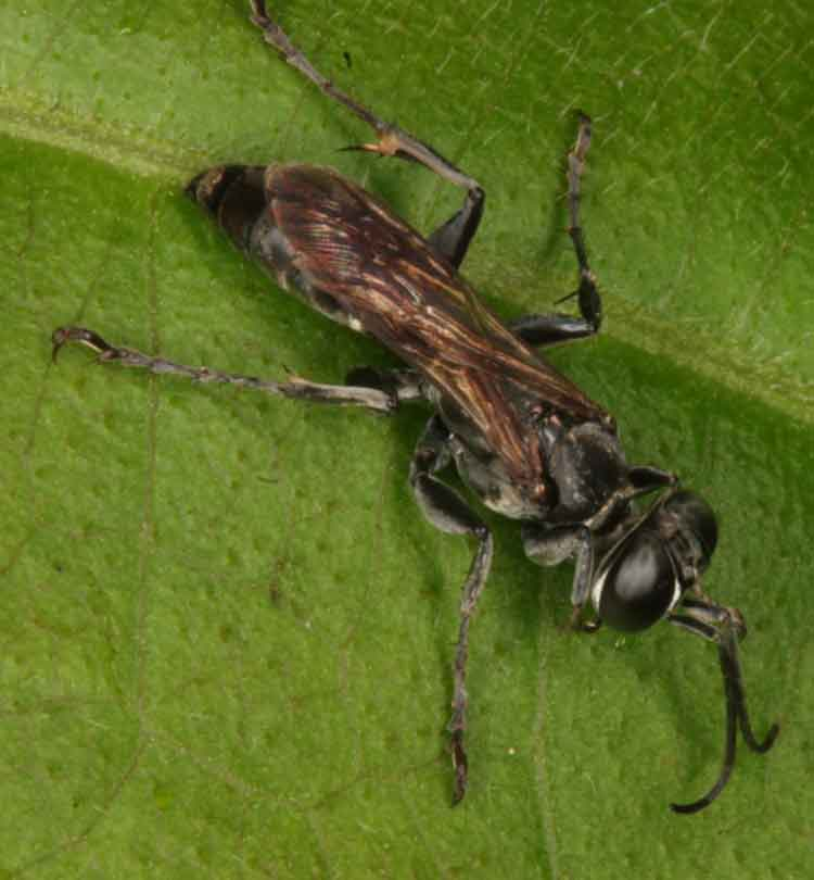 Stratiomyiidae (soldier fly)