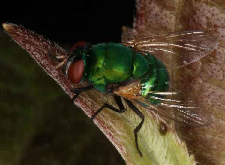 Calliphoridae (blow fly)