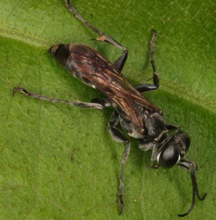 stratiomyiidae-soldier-fly