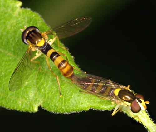 Syrphidae (hover fly)