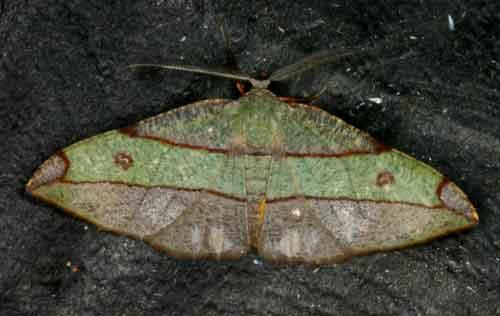 Hypochrosis hyadaria