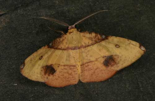 Hypochrosis near hyadaria