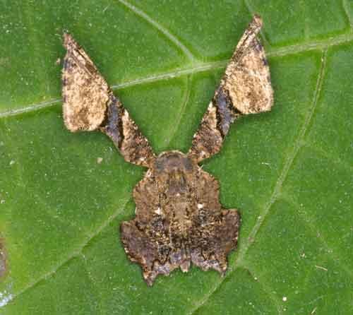 Monobolodes pernigrata