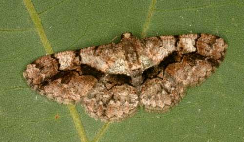 Satoblephara sp