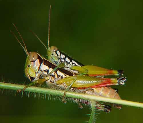 Acrididae 2