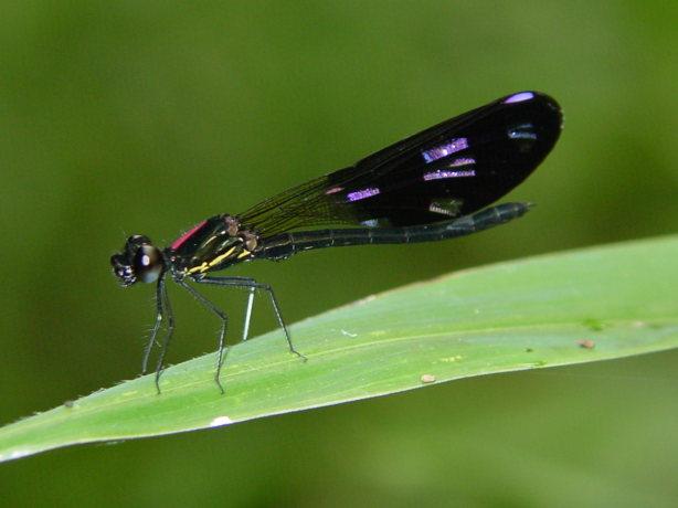 Aristocypha fenestrella 1
