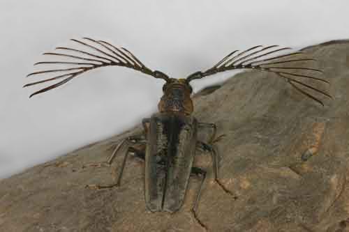 Cyriopalus wallacei