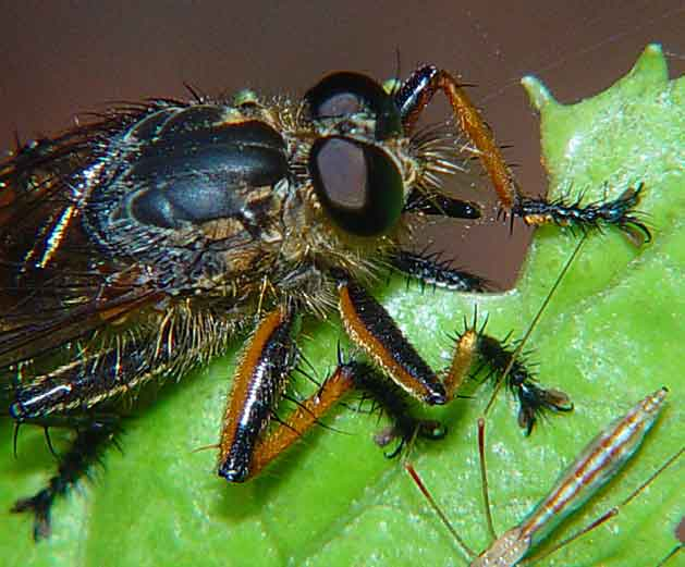 Diptera Asilidae1