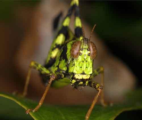 Eumastacidae