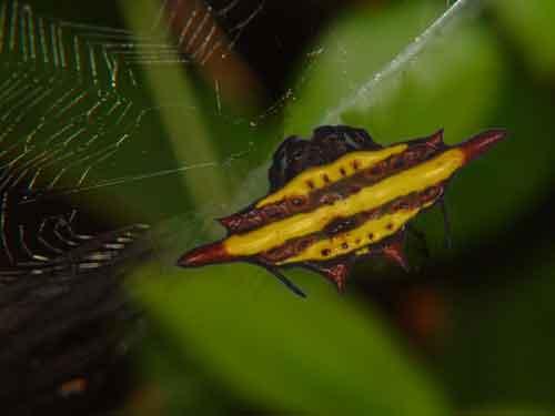 Gasteracantha sturi possibly