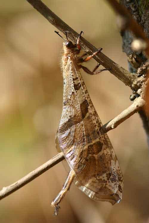 Neuroptera antlion (Myrmeleonidae)