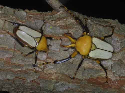 Platynocephus Miyashitai