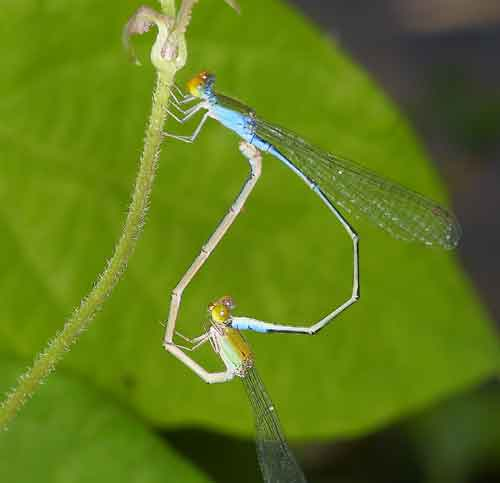 Pseudagrion rubriceps pair