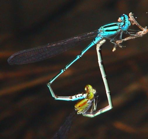 Pseudagrion, probably australiasae