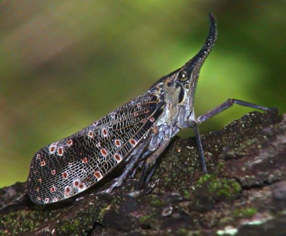 Pyrops spinolae (Fulgoridae)