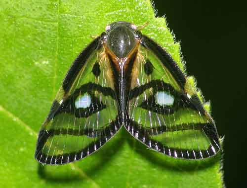 Ricaniidae