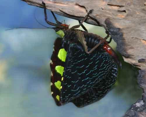 Sanaa intermedia3 (Tettigoniidae)
