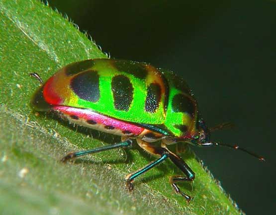 Scutellaridae (Heteroptera)