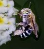 Apidae 1