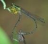 Copera species 2