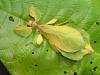 Phyllium celebicum f