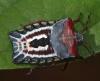 Tessaratomidae