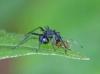 spiny ant