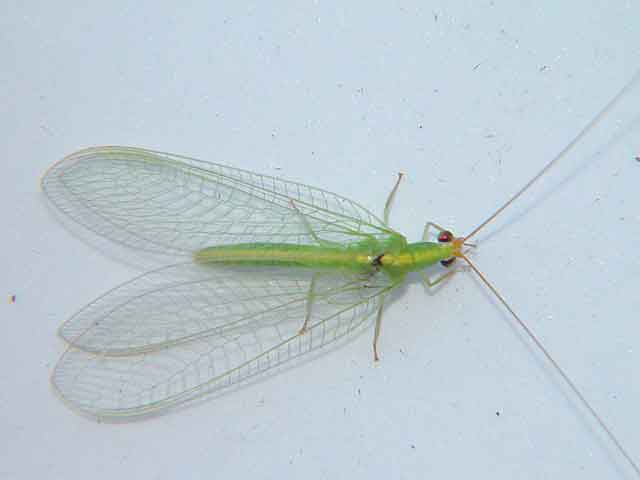 Chrysopidae common lacewing