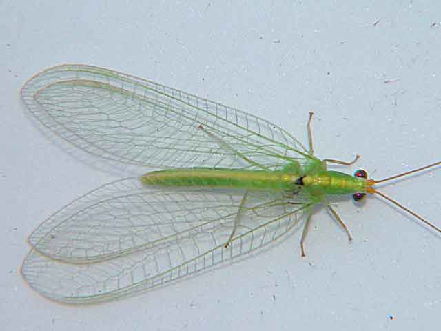 Chrysopidae common lacewing 1