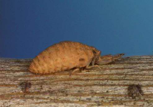 antlion (Myrmeleonidae) larva