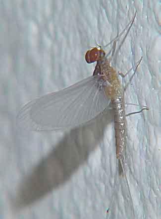 Ephemeroptera Baetidae Mayfly