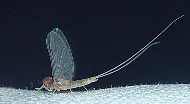 Ephemeroptera Baetidae mayfly 1