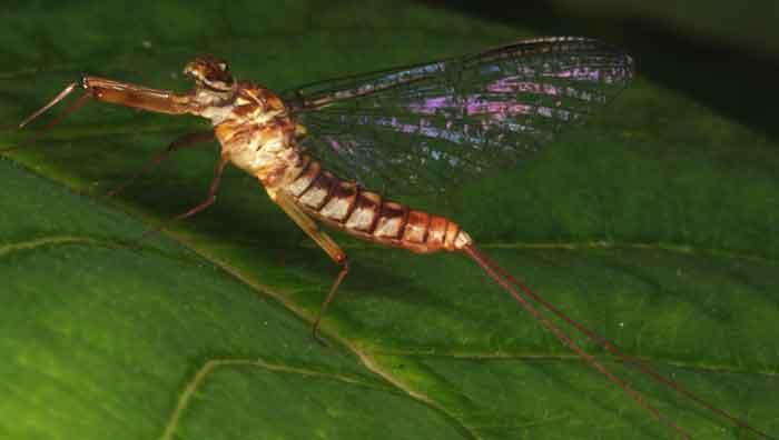 Ephemeroptera Mayfly1