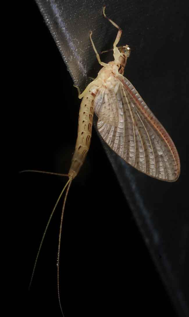 Ephemeroptera Mayfly2