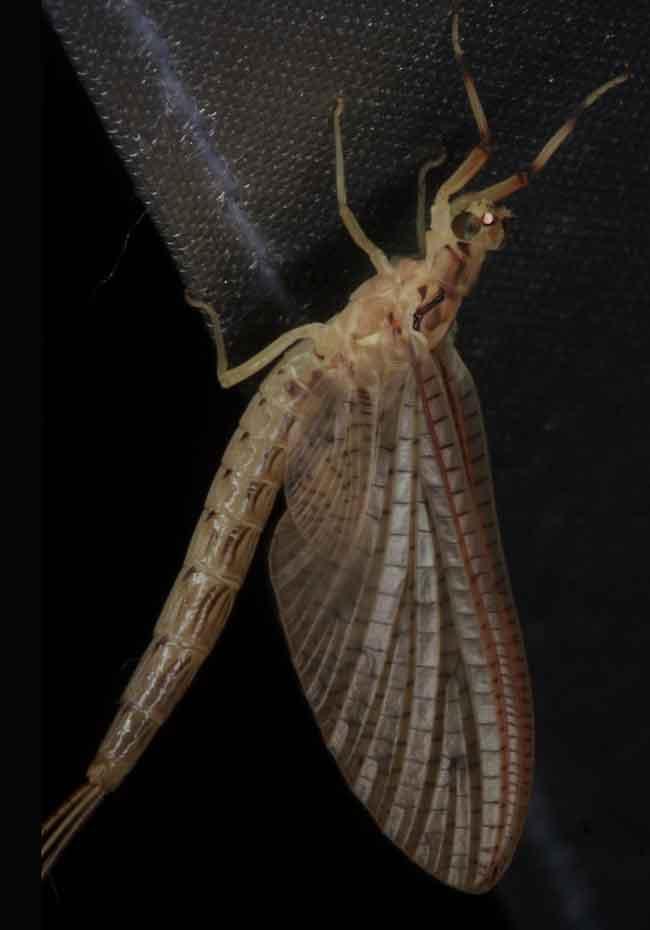 Ephemeroptera Mayfly3