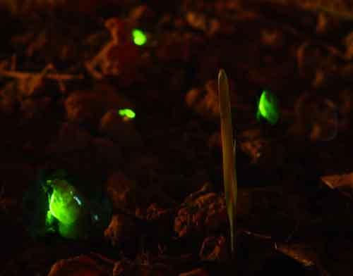 Lampyridae larvae glow worms