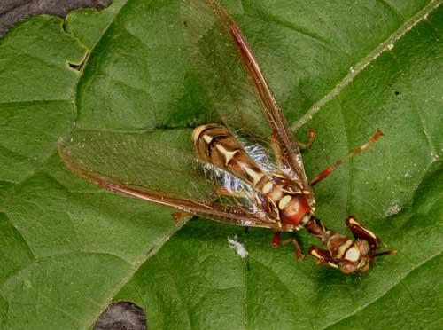 Mantispidae mantifly
