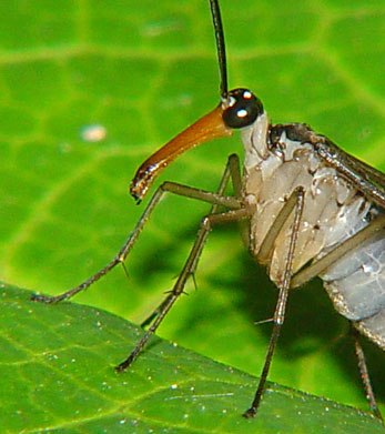 Mecoptera Panorpidae (scorpion fly) 2