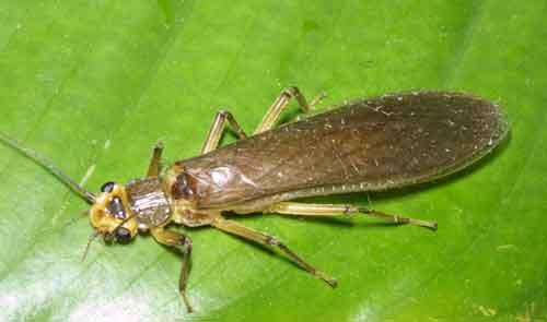 Plecoptera (stonefly)