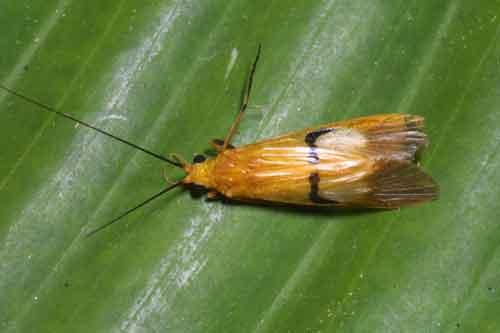 Trichoptera (Macrostemum midas)  Caddis fly