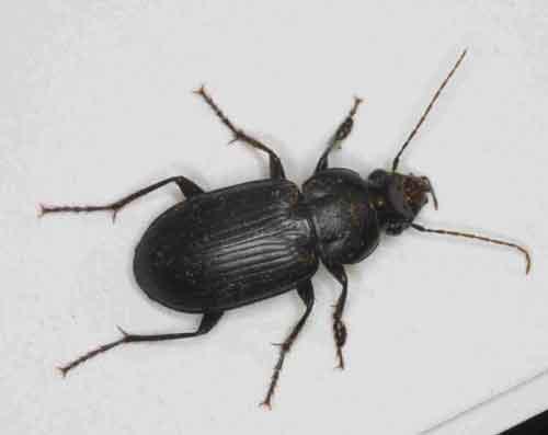 Carabidae Carabidae