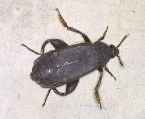 Diamesus osculans Silphidae (carrion beetle)