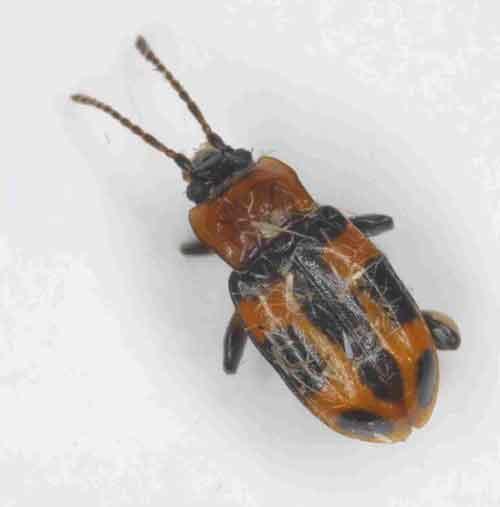 Endomychidae Ancylopus sp