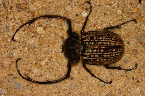 Eucrinae Cheirotonus gestroi male