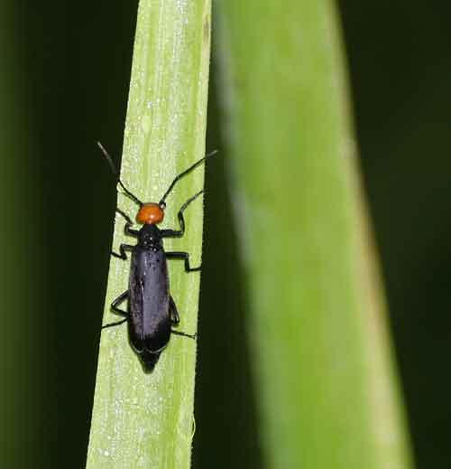 Meloidae 2