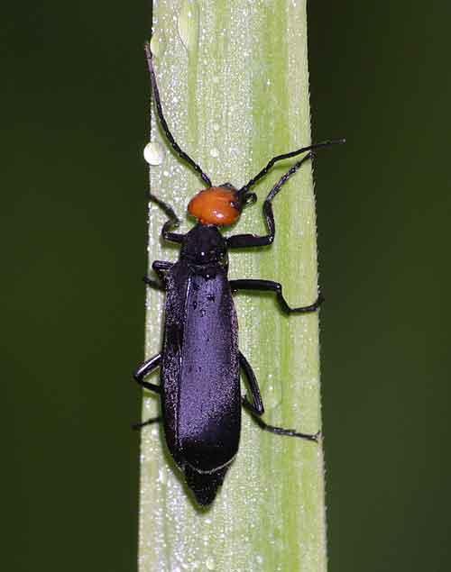 Meloidae 3
